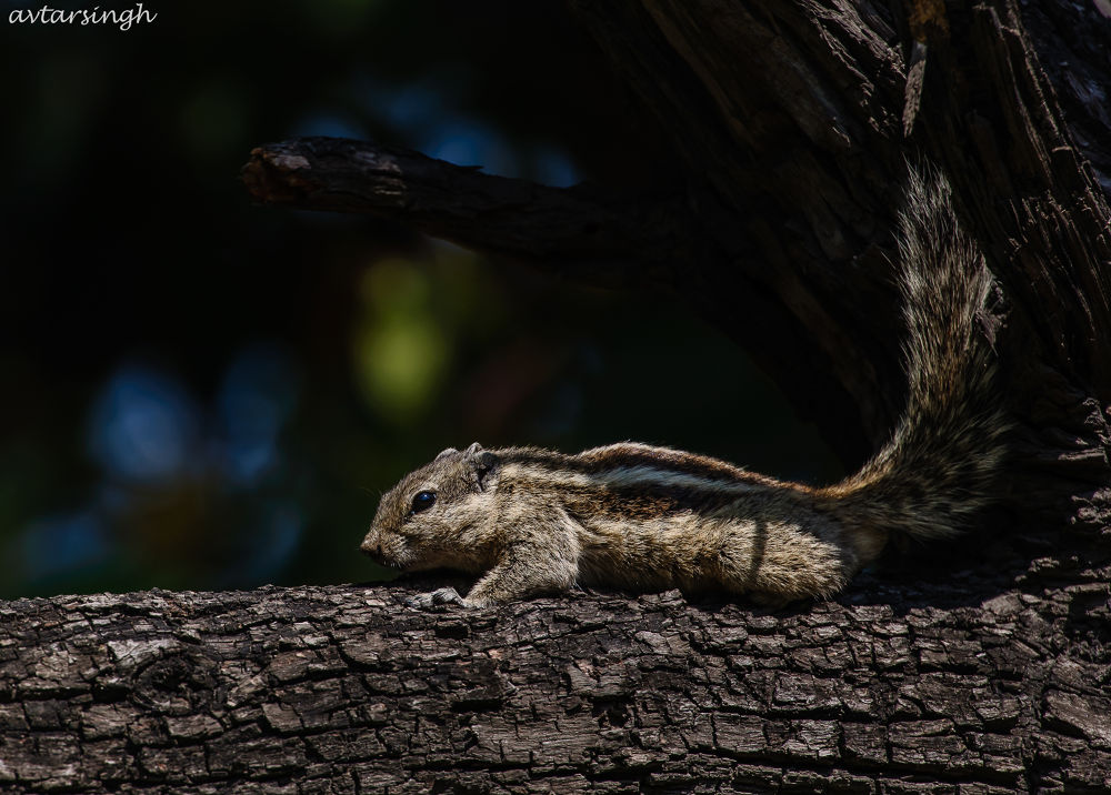 Chip munk - snoozing time by Avtar Singh