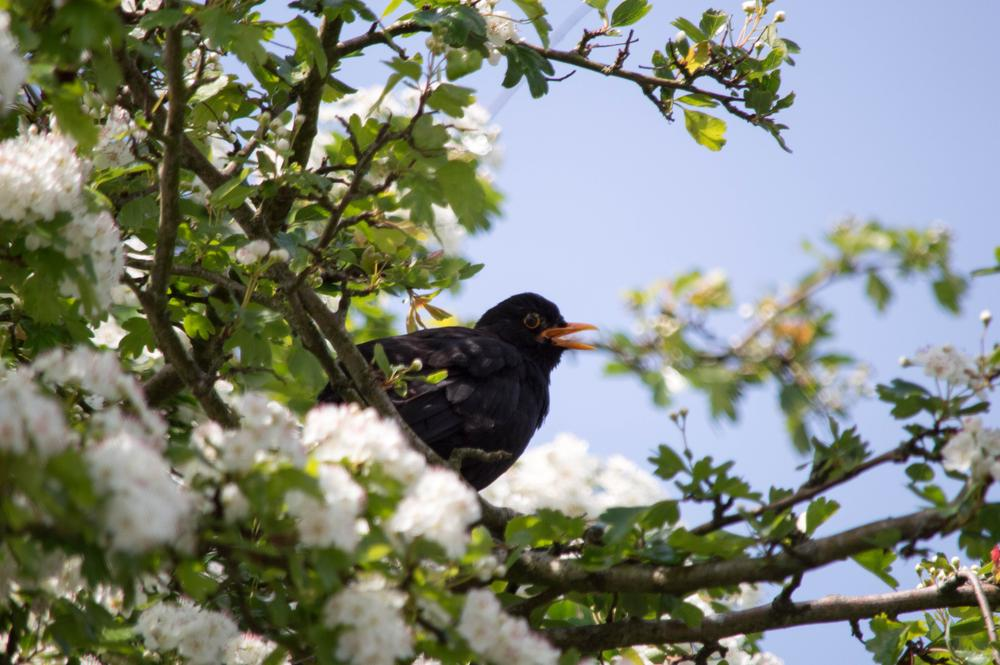 blackbird in song - barrow in furness uk by Robert Stephenson