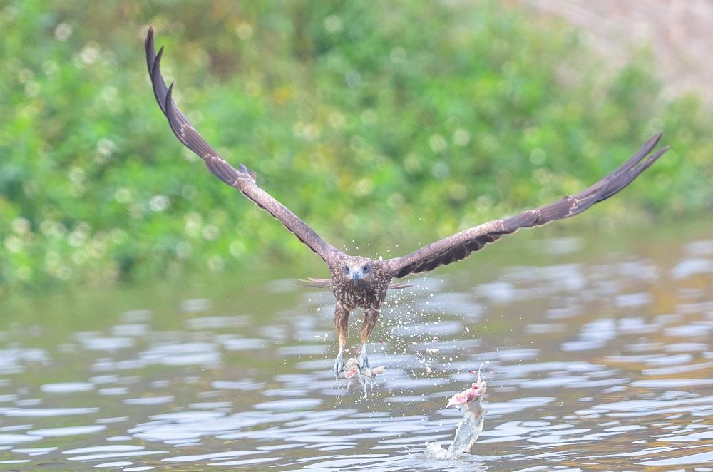 .:: Eagle & Fish ::.  by Nagesh Vannur