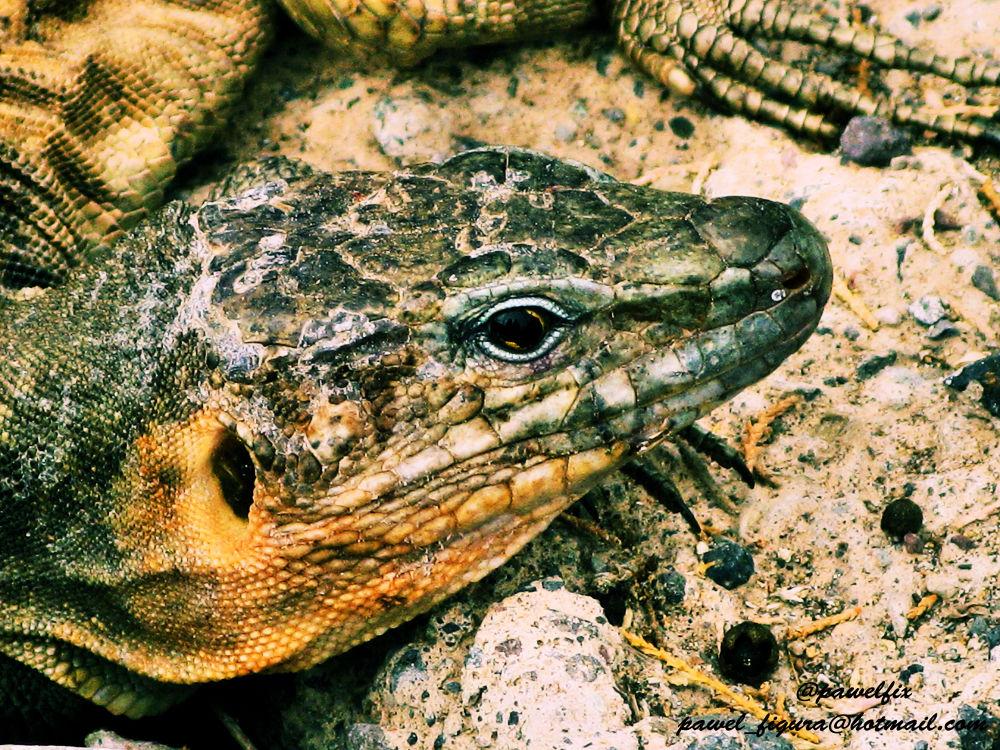 Lizard by Pawel Figura