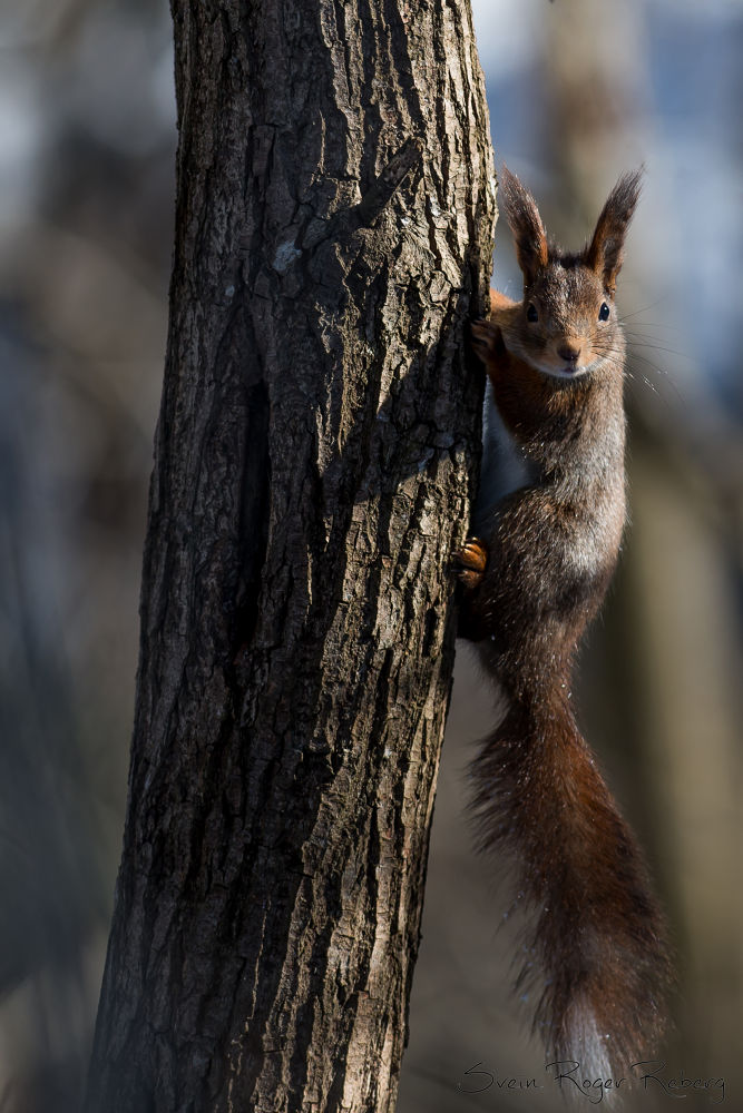 squirrel by Svein Roger Reberg
