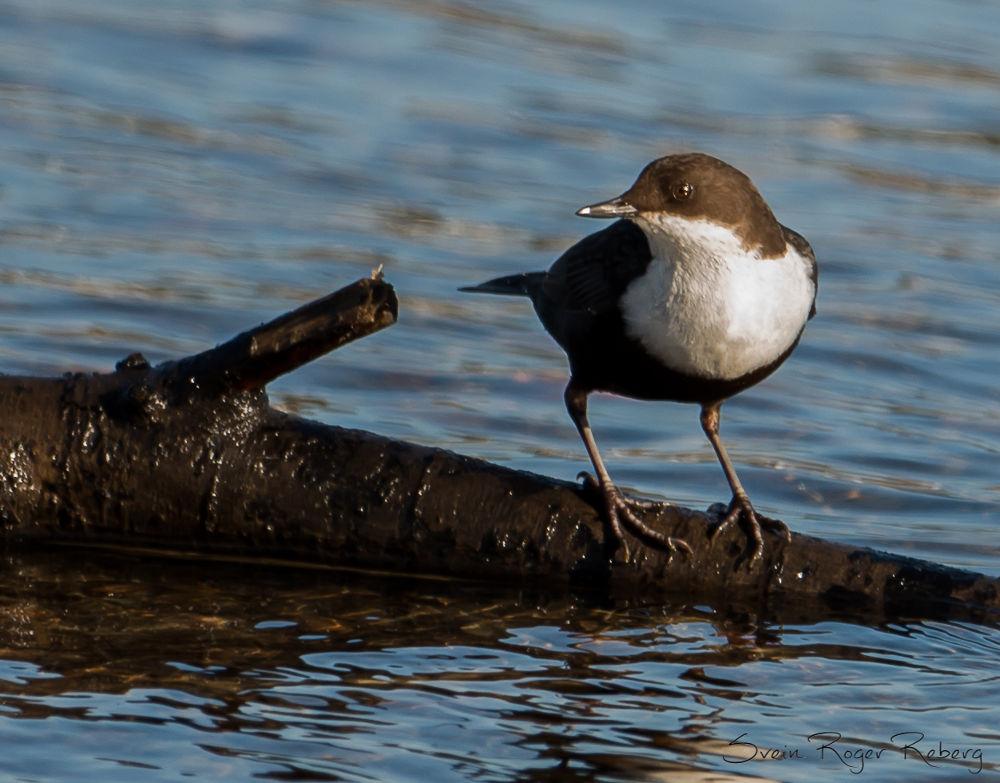 Fossekallen, National bird in Norway by Svein Roger Reberg