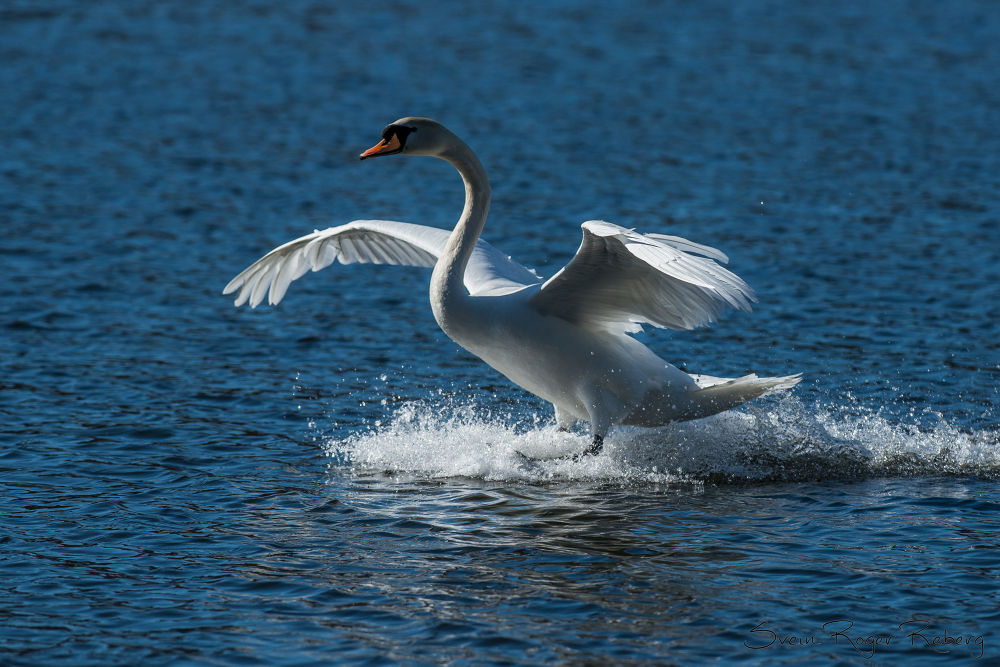 Swan by Svein Roger Reberg