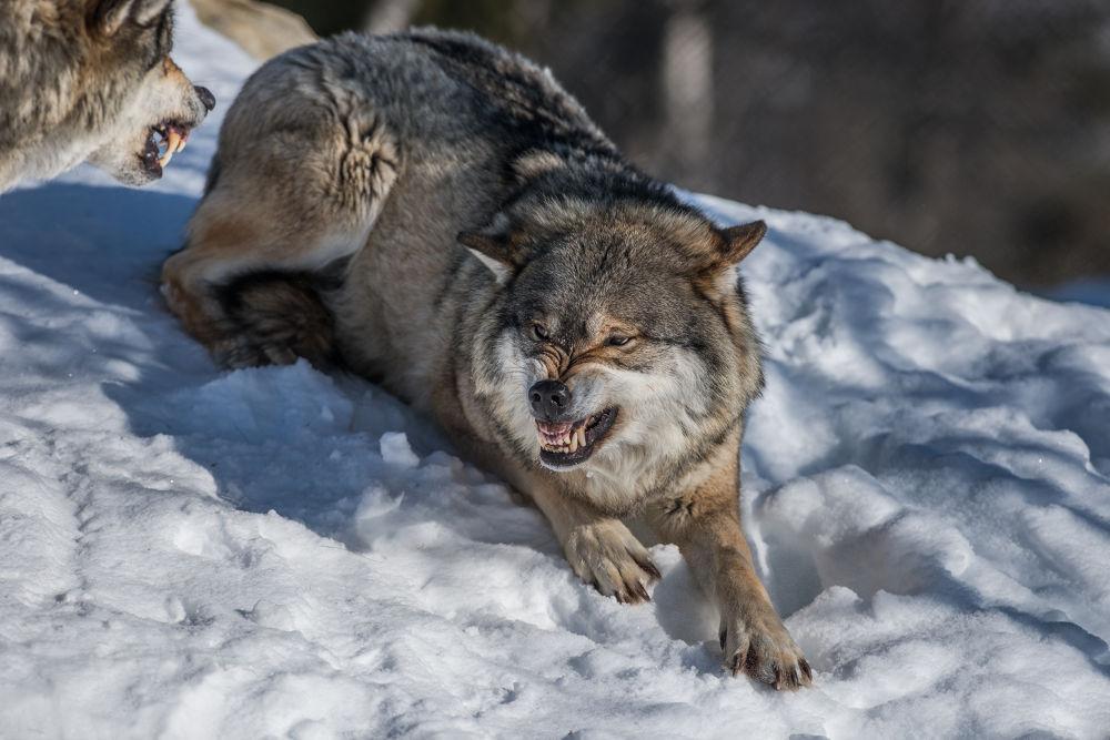 Wolf by Svein Roger Reberg