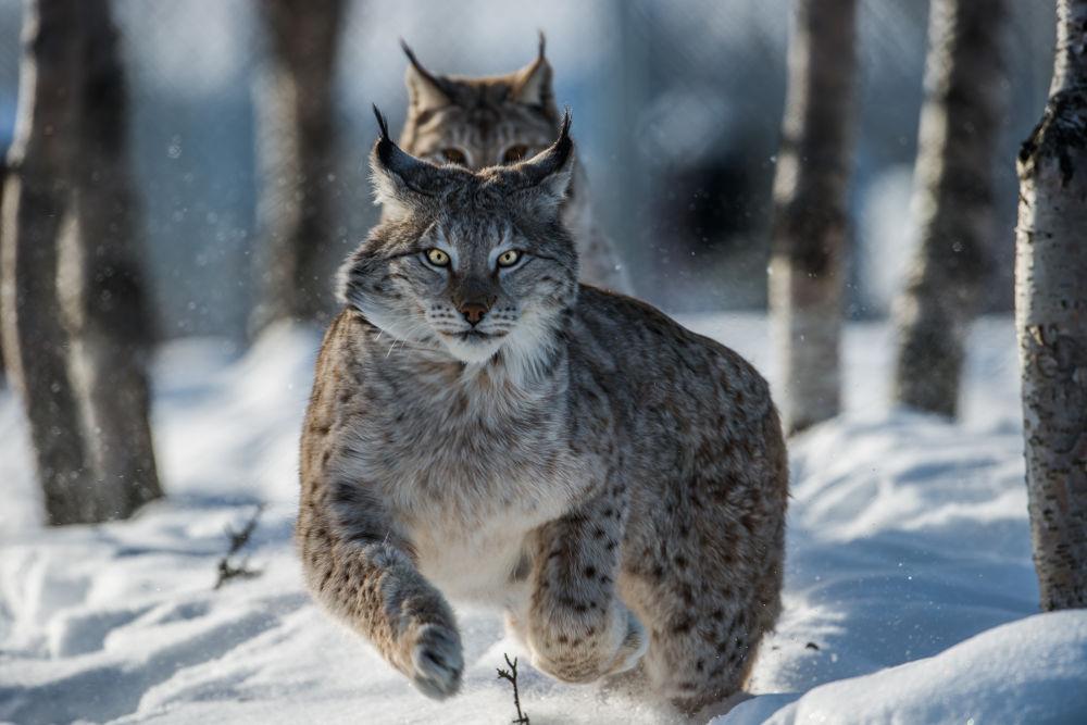 Lynx by Svein Roger Reberg