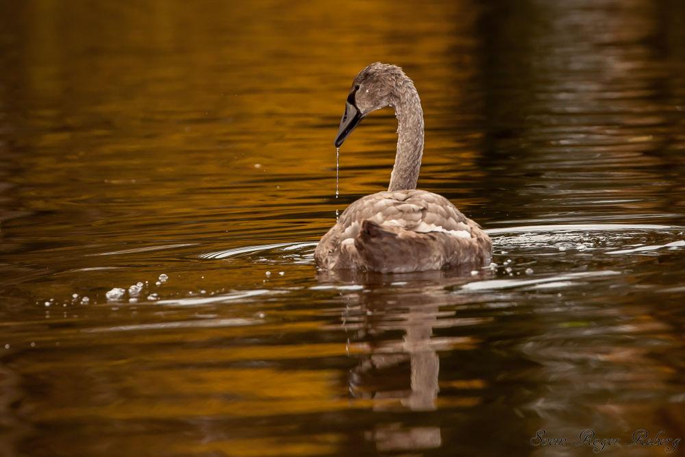 Swan by Svein Roger Reberg