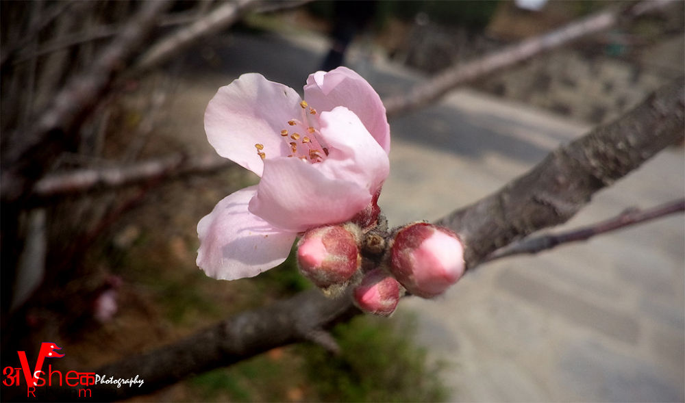 Photo in Macro #prunus persica flower #colour #background small trees parts