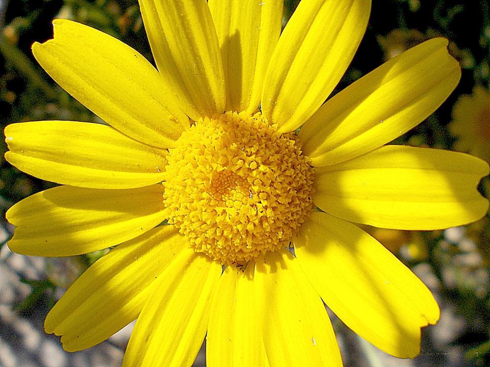 Yellow Flower by Ernesto Ievolella