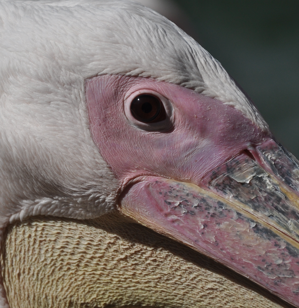 pelikan by Emel Kıraç
