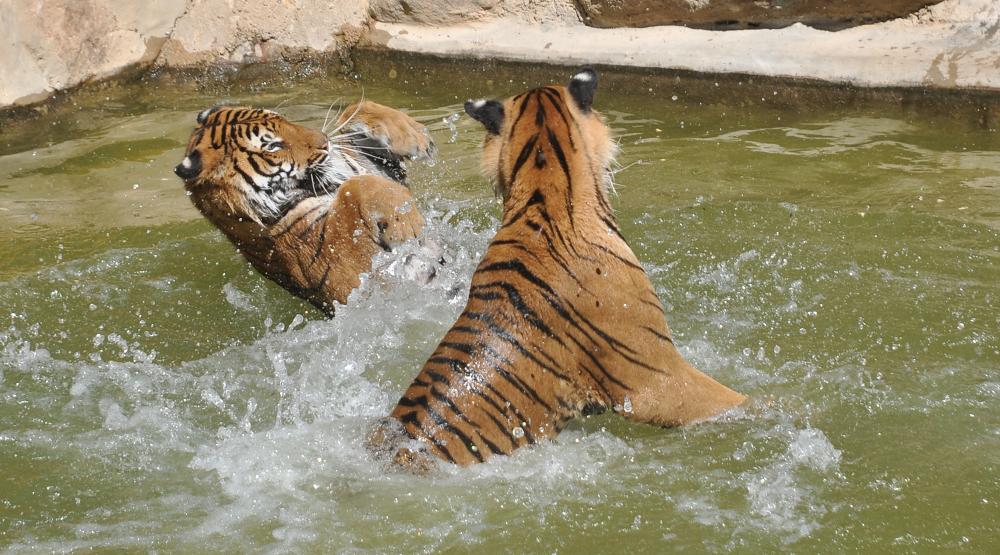 tigers by Emel Kıraç