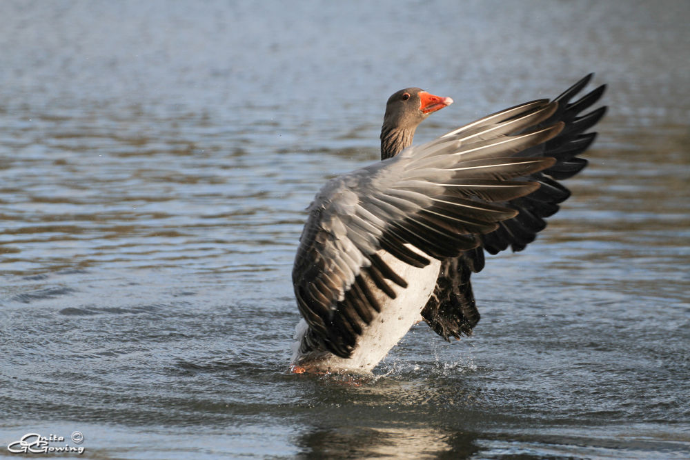 Greylag by Anita Gowing