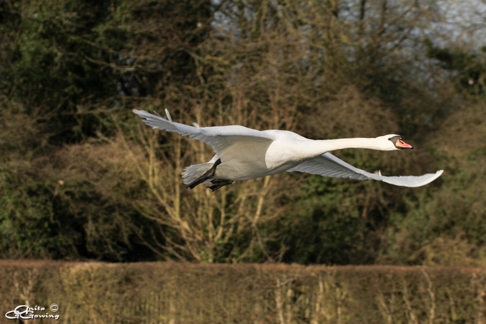 Photo in Nature #mute swan #swan #water birds