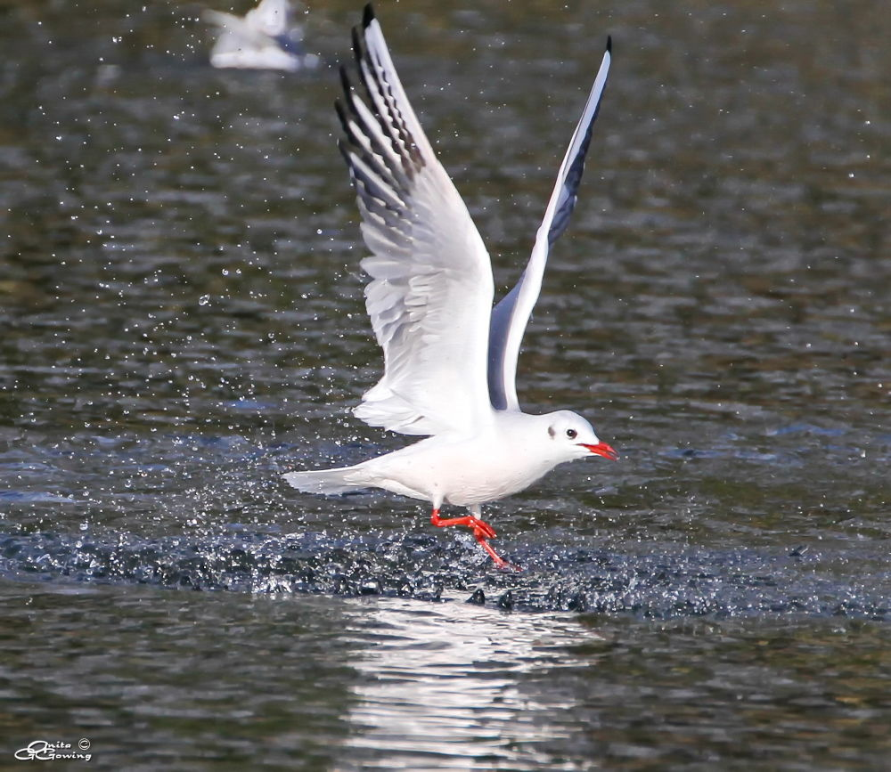 Black-headed Gull by Anita Gowing