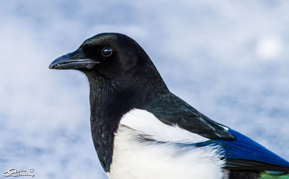 Magpie by Anita Gowing