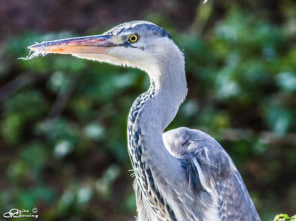 Grey Heron by Anita Gowing