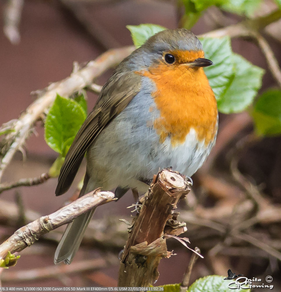 Robin by Anita Gowing