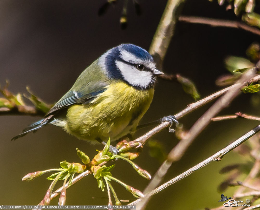 Blue Tit by Anita Gowing