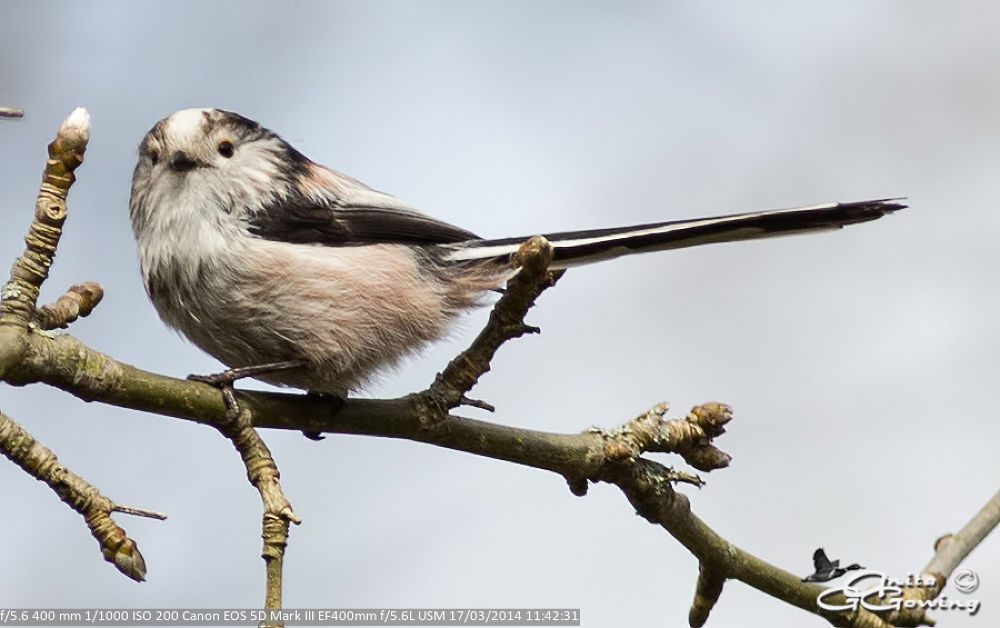 Long Tailed Tit by Anita Gowing