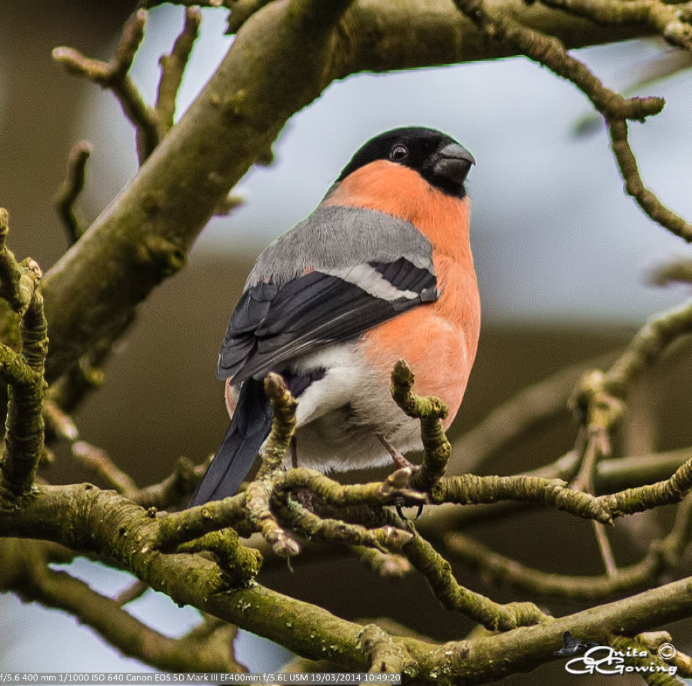 Bullfinch male by Anita Gowing