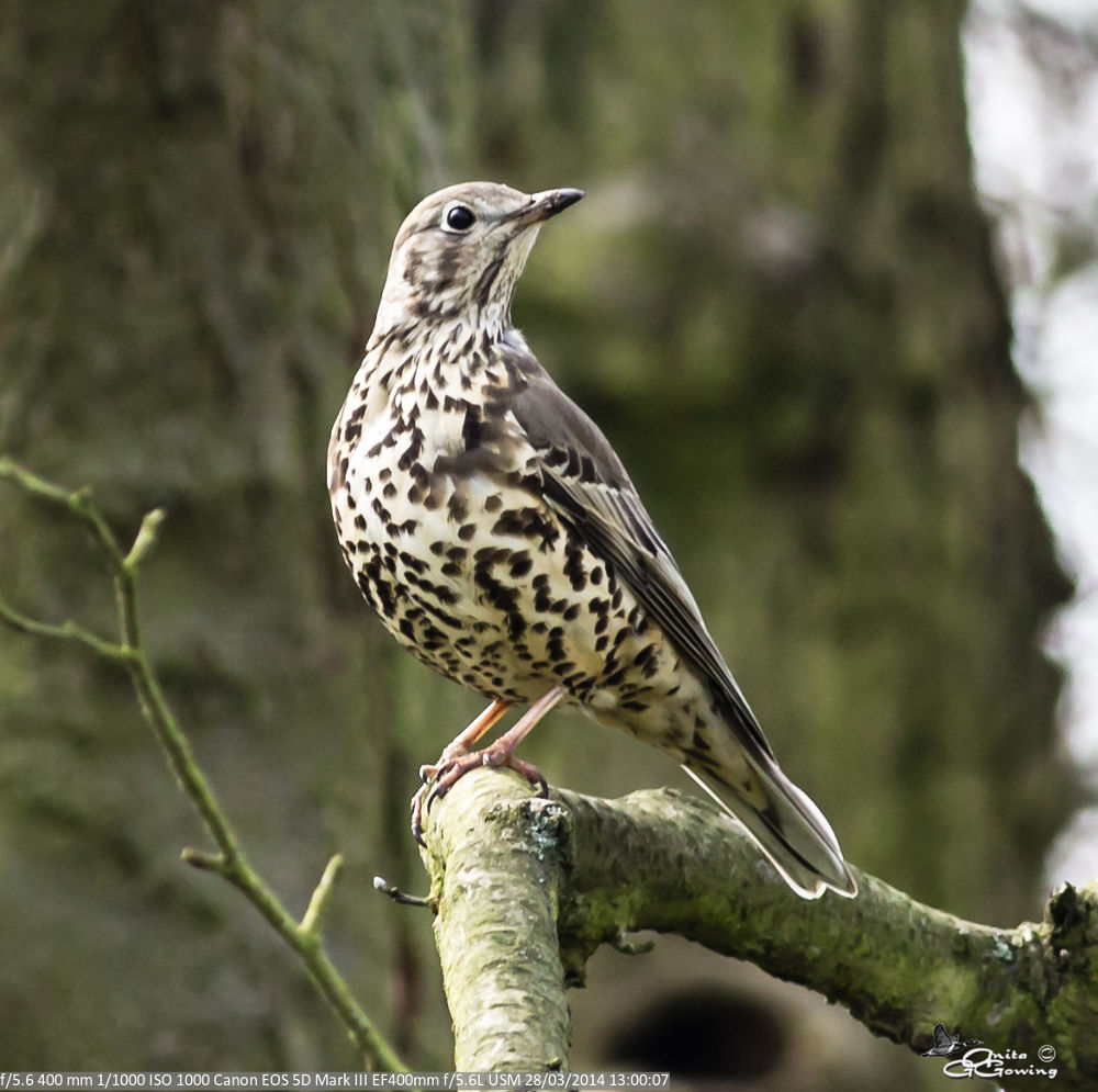 Mistle Thrush by Anita Gowing