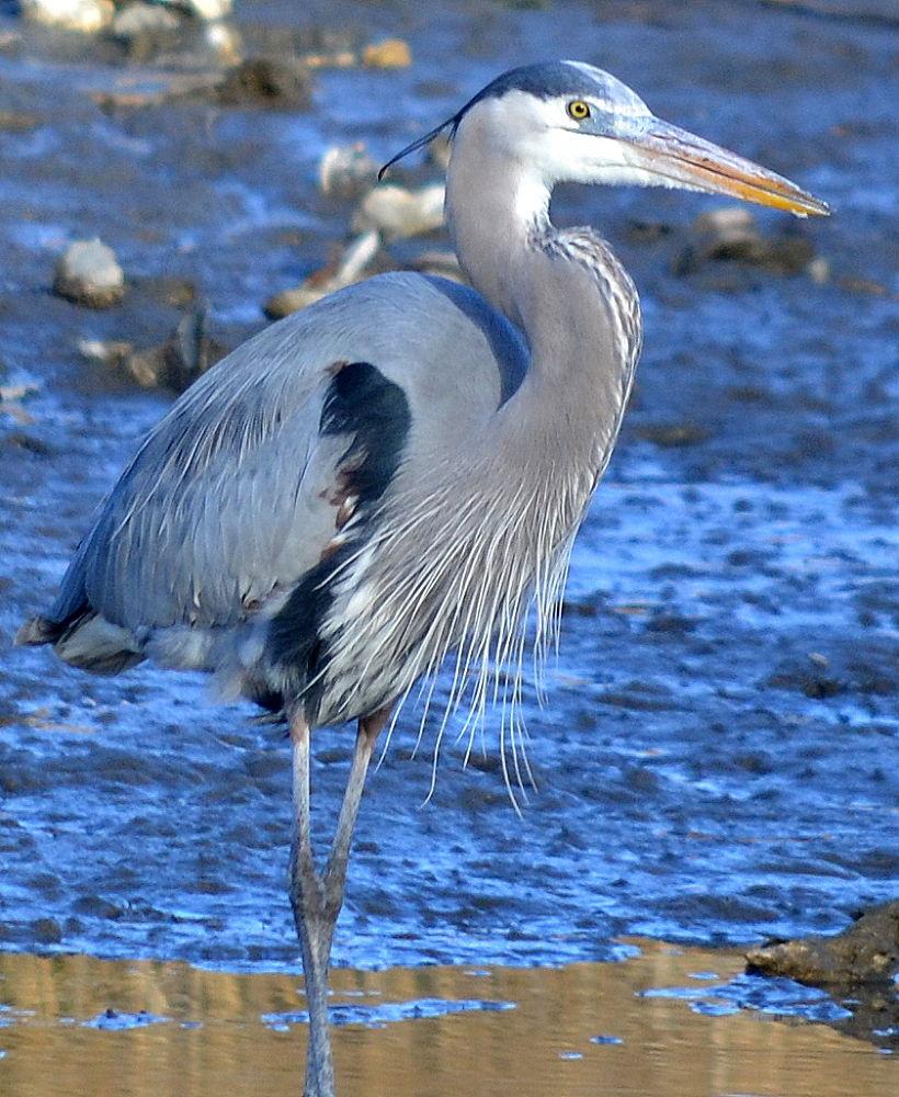 heron close up by jetskibrian