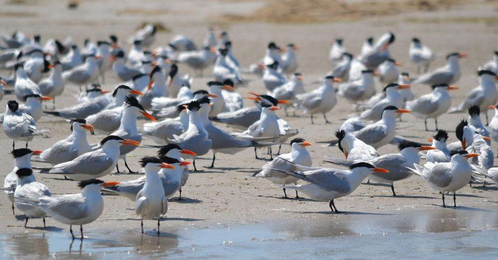 Photo in Nature #oyal terns