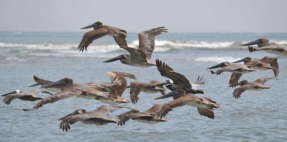 Photo in Nature #pelicans