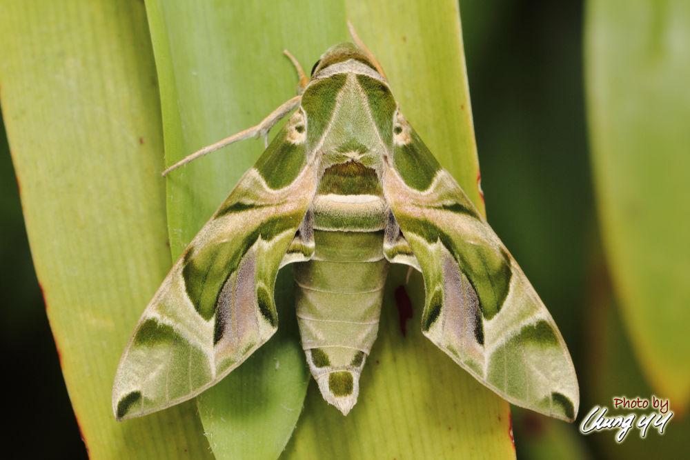Hawk Moth [Sphingidae] Daphnis Nerii (Linnaeus, 1758) 夹竹桃天蛾 by cyy4993