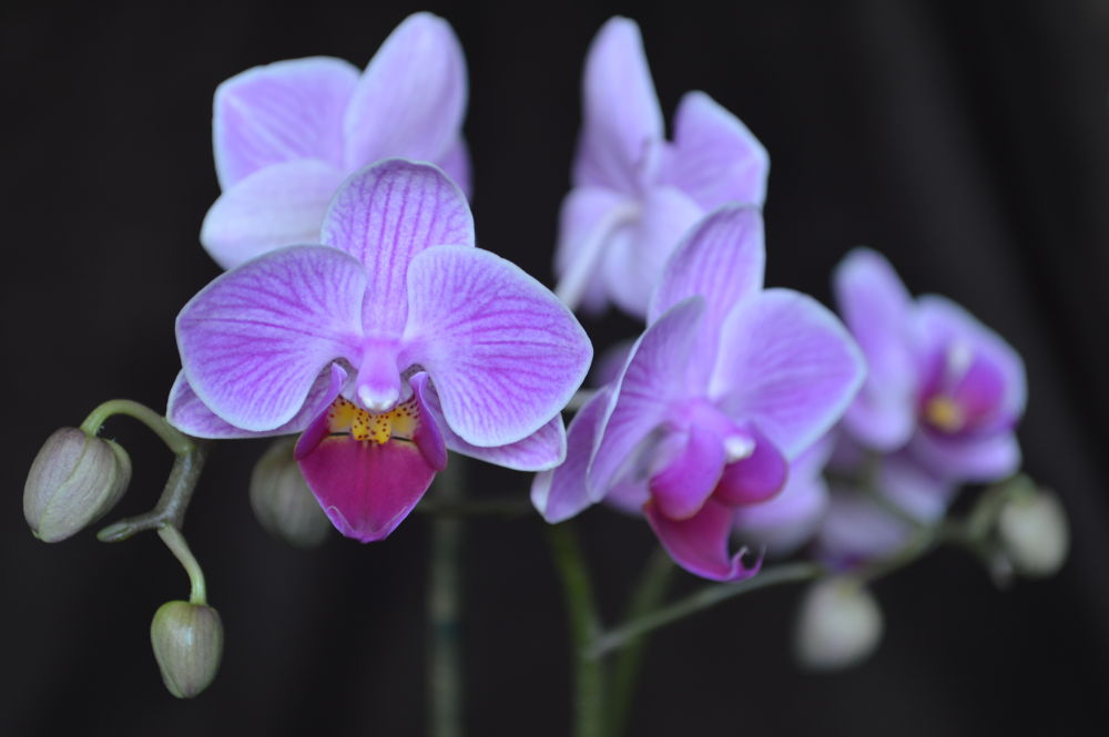 Phalaenopsis by Mart  R Porter