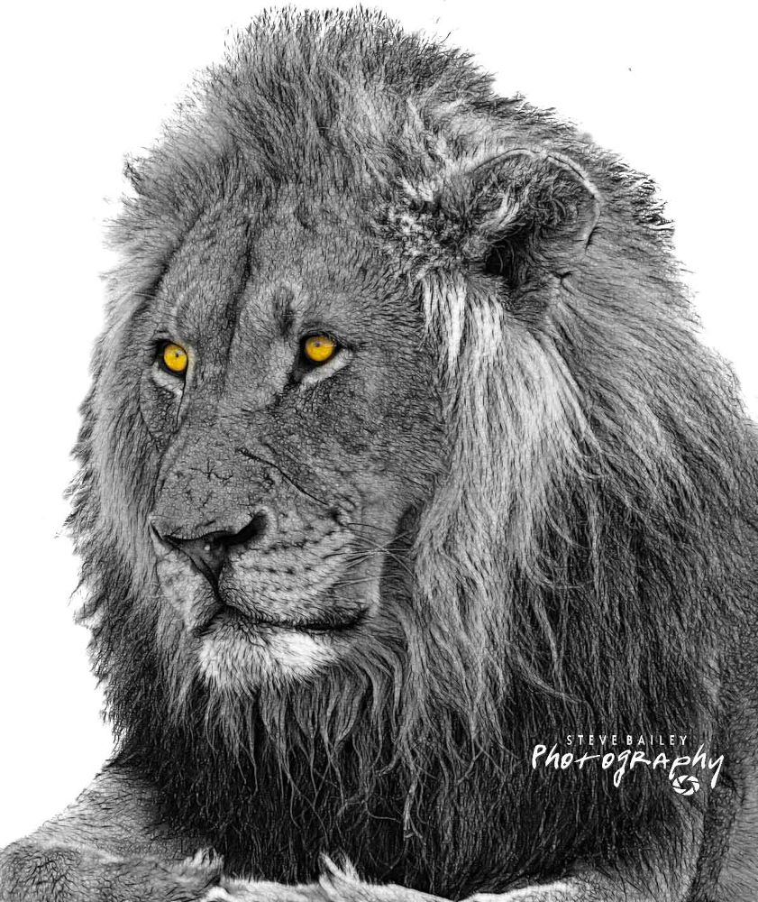 Lion.Low-Res by SteveBailey
