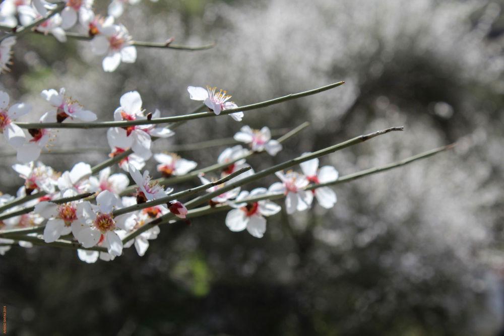 blossom1 by Ahmad Safaii