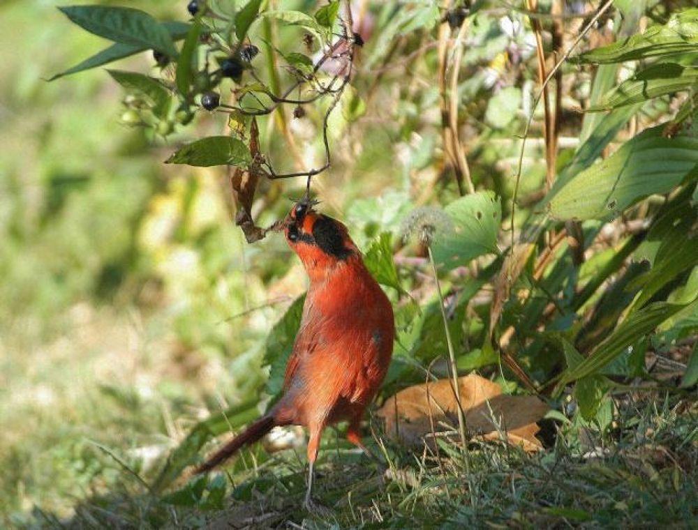 Bird, Cardinal, eating beeries a by Carrie Hampton