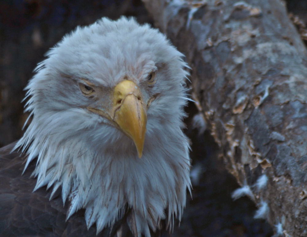 Photo in Animal #animals #birds #eagles #bald eagles #wildlife #native birds #portraits #nature