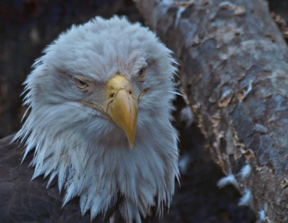 bald eagle portrait by Angelika Sauer
