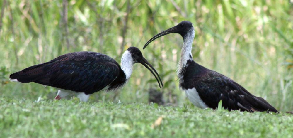 Photo in Animal #ibis #wetlands #nature #australia #birds #wildlife