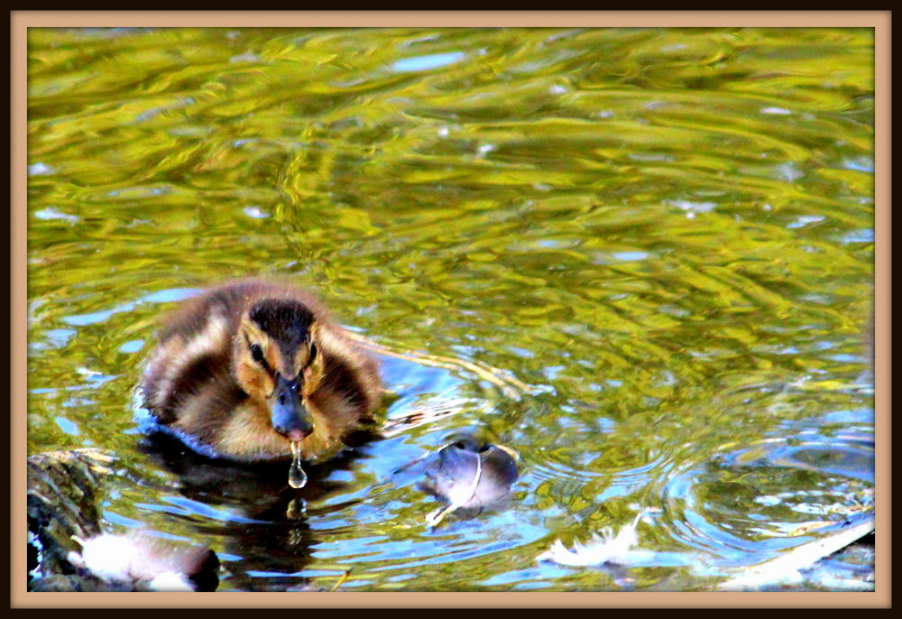 Thristy Duckling by Robbie Isbell