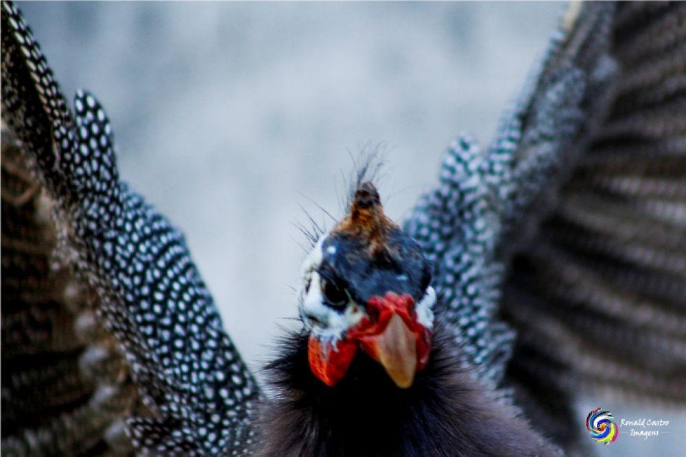 Voo da galinha d´angola by Ronald Castro