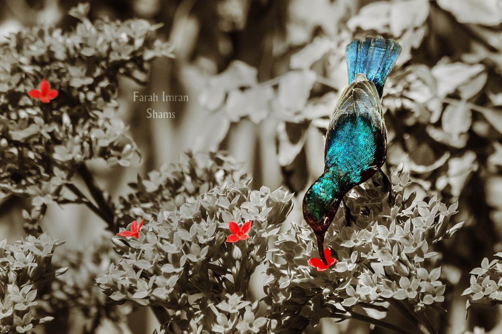 Photo in Random #sepia #selective color #bird #sunbird #flower #blue #red