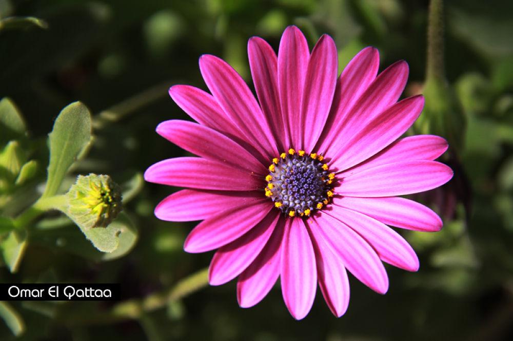 Flower by Omar El Qattaa