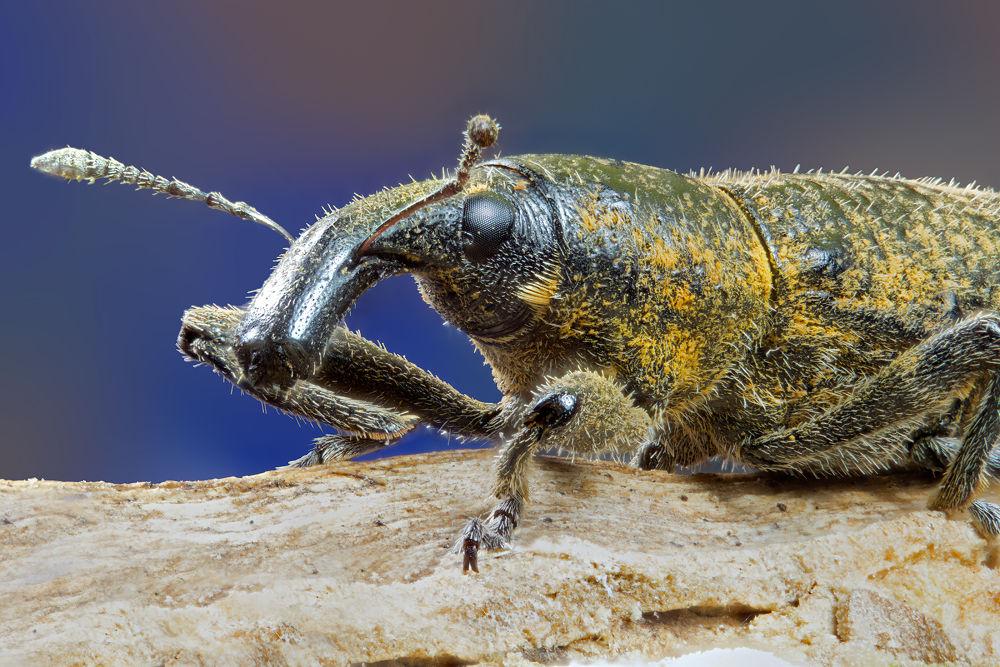 Weevil up close by Oscar Blanco