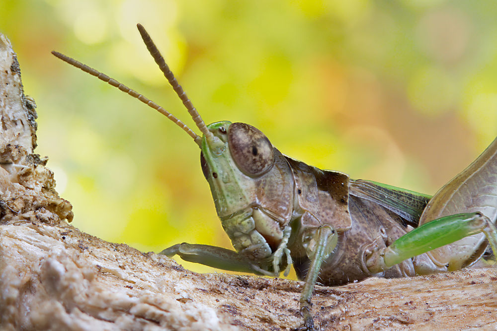 Grasshopper by Oscar Blanco