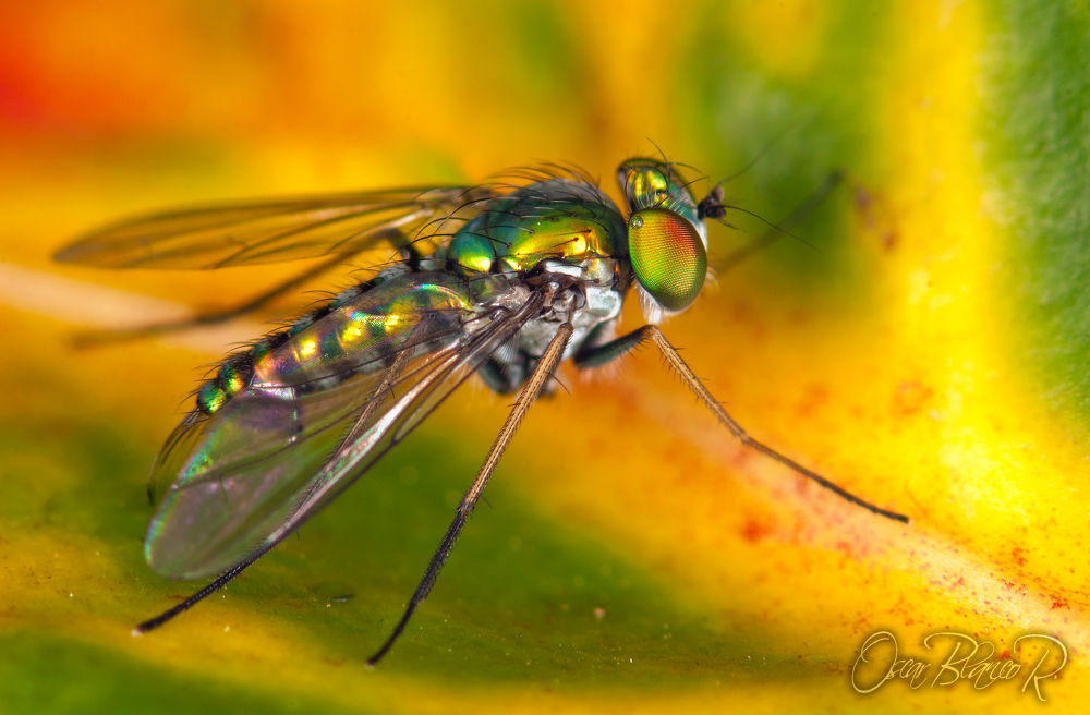 Photo in Macro #metallic fly #dolichopodidae