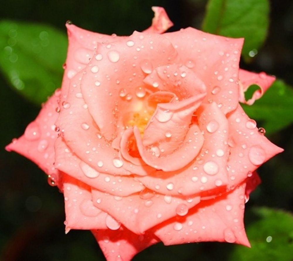 ROSE by haridi