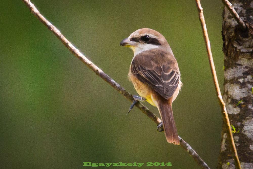 Brown Shrike by Edgardo Blancaflor