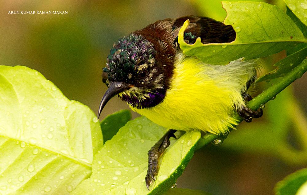 Purple Rumped Sun Bird by Arun Kumar R M