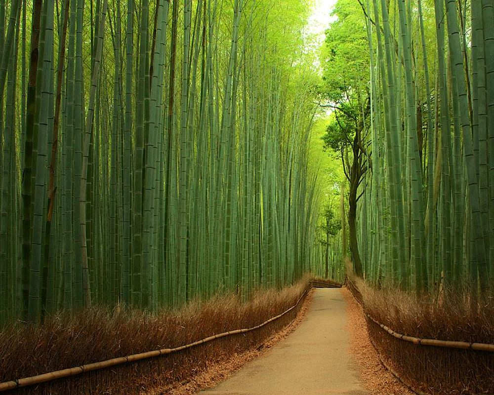 Foresta di bamboo, Giappone by Zaccaria Maski