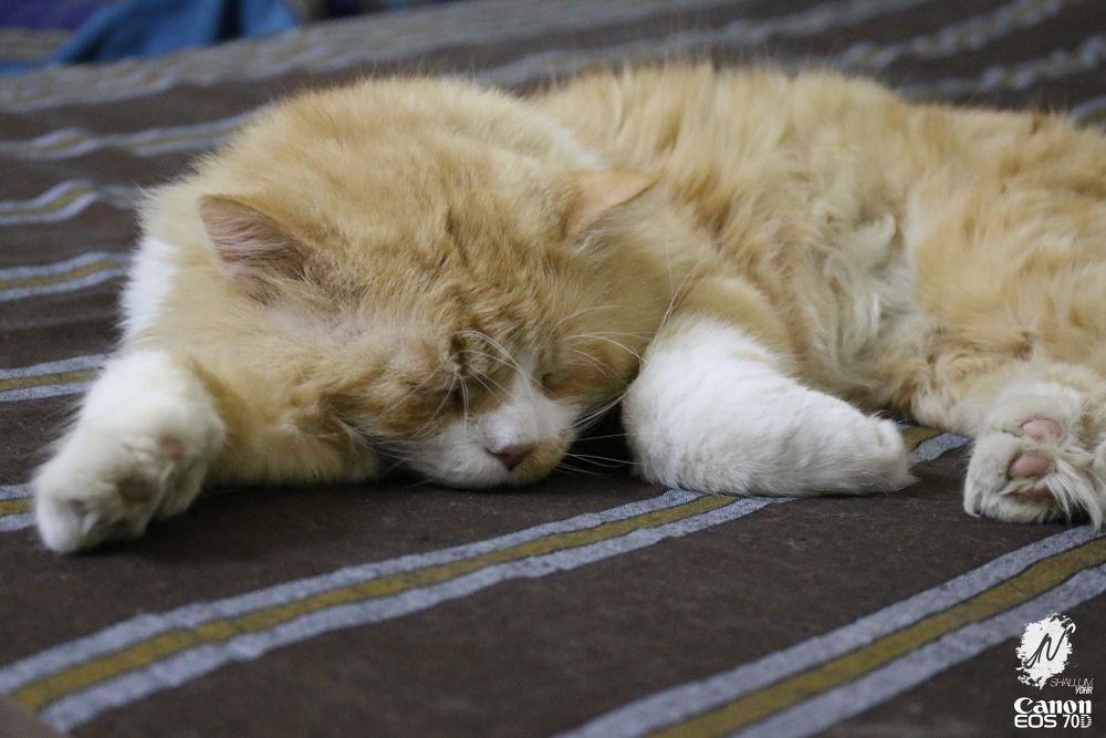 Photo in Animal #canon #eos #eos70d #dslr #cat #pet #pets #cats