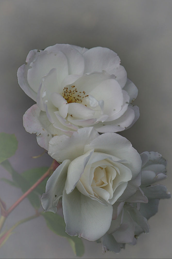 Roses by Gunilla Andersson