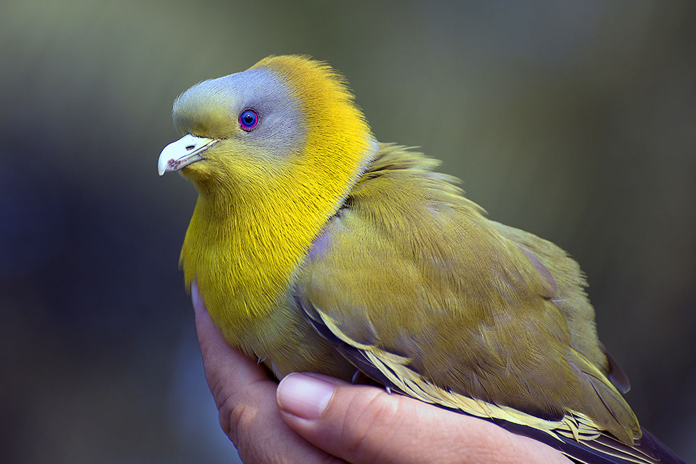 YELLO FOOTED GREEN PIGEON by Sanjeev Ski