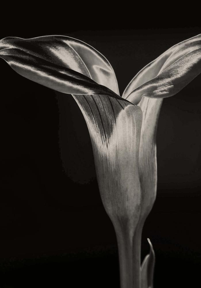 calla Lily by Christine Grubbs